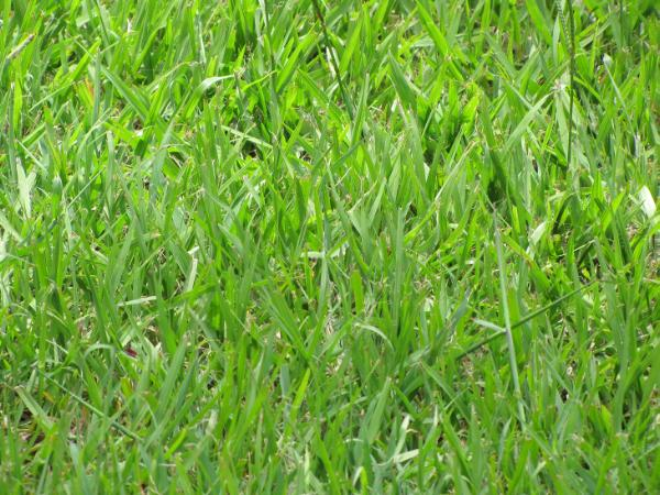 Bahia grass has semi erect growth habit and can be adapted to a wide range of soil types. It is tolerant of acid and low fertility soils. Bahia grass is persistent and tolerant of heavy grazing.