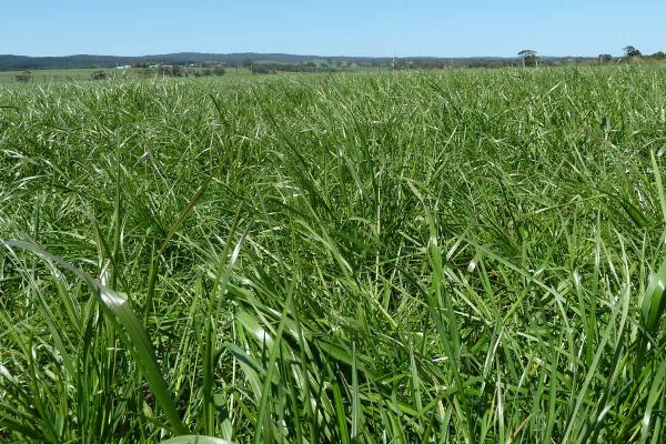 Bolton Diploid Perennial Ryegrass is an early heading variety ideal for grazing and hay making. An improvement over Victorian ryegrass in marginal sheep and beef country. Australian bred product suited to Australian conditions.