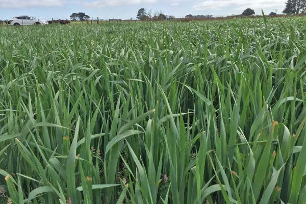 Bond Oats are an early-mid season plant, forage variety, with strong initial growth and high total season drymatter yield. Bond have a high level of resistance to current races of crown rust (P. coronata). They are a medium-late maturing oat with a prolific tillering ability for good recovery after cutting or grazing.