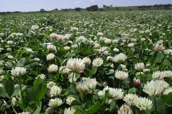 Border Balansa Clover is an alternative to Paradana, with better productivity from grazing and hay yields. If allowed to flower, Border will set more seed to ensure regeneration the following year if required.