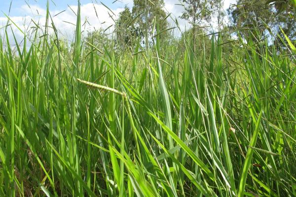 Brachiaria Signal is a tropical grass suited to 1000 mm+ annual rainfall regions with free draining loams to clay soil. Highly productive under intensive management and very tolerant of heavy grazing. Brachiaria Signal persists on low fertility, tolerates acid soils and high aluminium levels.