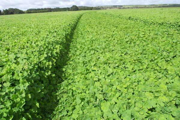 Coolamon Sub Clover is a mid season replacement for Woogenellup and Junee. High yielding variety with high seedling regeneration and good resistance to clover scorch. 30-40% hard seed.