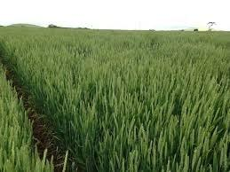 DS Tull wheat | AusWest & Stephen Pasture Seeds