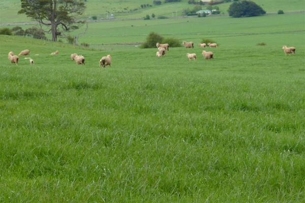 Kingsgate Diploid Perennial Ryegrass is an early heading, densely tillered variety, with excellent ground cover which improves pasture persistence. Ideally suited to sheep and beef grazing properties. Kingsgate is a replacement for Kingston with improved production and rust tolerance.