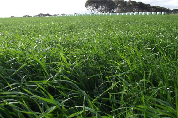 A mid heading, fast establishing variety with excellent winter production for intensive grazing. Very compatible with annual clovers to improve silage and hay production. Consistently performs well in local trials.