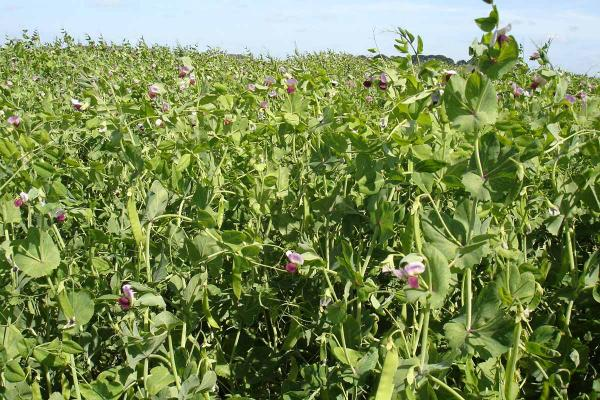 Morgan Dun Pea is and early-mid season plant variety. A tall scrambling, semi leafless type that is well suited to hay/silage applications. Morgan is a late maturing plant with moderate resistance to bacterial blight.