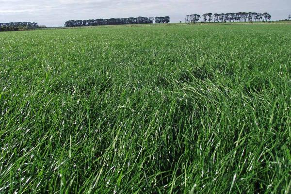 Ohau Tetraploid Long Rotation Ryegrass is a mid-late heading variety with excellent winter and spring production providing a quick winter feed wedge. Low aftermath seed head provides quality feed late in the season. Ideal for grazing, silage and hay making.