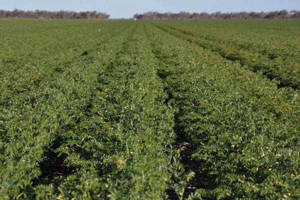 PBA Monarch Chickpea is a mid season plant, Kabuli type. It is an early flowering variety with a medium plant height and a 8-9mm seed size. PBA Monarch is earlier maturing than Almaz and Genesis 090 and is suited to shorter season chickpea areas of NSW and QLD