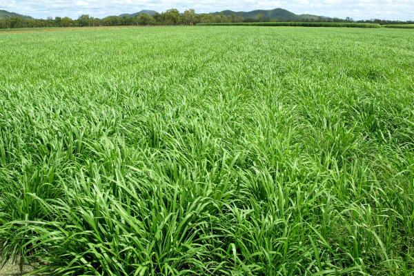 Panic is a tropical grass suited to 600 mm+ annual rainfall regions with friable softwood scrub, light clay soil. With main production in late spring, summer and autumn, it is very palatable. Panic is capable of withstanding flooding, drought and saline tolerant with some tolerance to frosts. Available in Bambatsi, Gatton and Green.