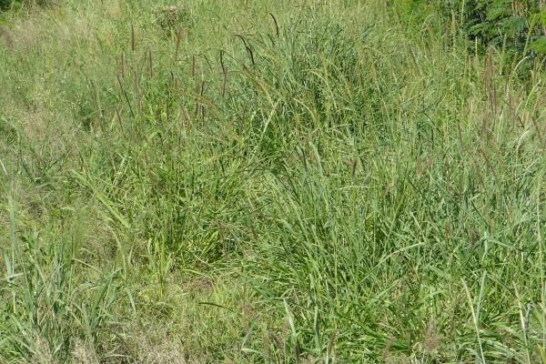 Pigeon Grass is a tropical grass suited to 600 mm+ annual rainfall regions and heavy clays with good fertility soils. Easy to establish in medium to heavy textured soils with rapid growth rates. Pigeon grass is drought tolerant and needs reasonable fertility levels. Variety available: Purple