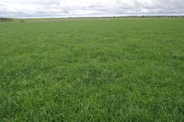 SPS Hillside Perennial Blend is a phalaris based pasture that is extremely persistent once established. Suited to undulating low rainfall areas where ryegrass will not persist.