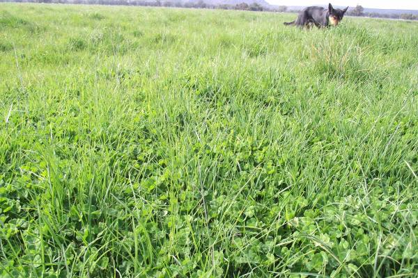 SPS Uplands n Sub Clover Perennial Blend is a long term perennial cocksfoot and sub clover blend is suited for sheep and beef enterprises in very low to marginal rainfall regions where other perennial grasses fail.