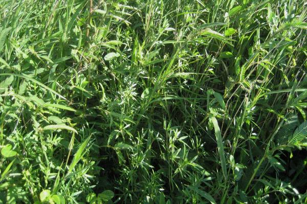 Sabi Urochola is a tropical grass suited to 600 mm+ annual rainfall regions with lighter textured loam soils. Sabi Urochloa establishes quickly, tolerates heavy grazing and adapts to various soil types. A good companion with buffel grass. Varieties available: Nixon and Saraji.