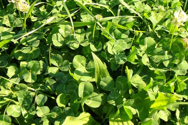 Tribute White Clover is a medium to large leaved whited clover bred for drought tolerance and winter activity. Its performance against other medium to large leaved varieties in trials has been outstanding. Tribute also has good stolon density aiding in persistence.