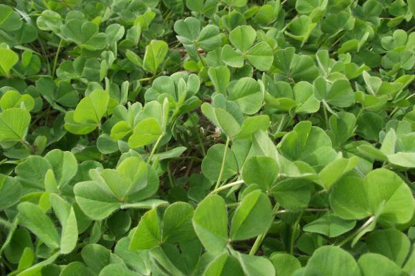 Urana Sub Clover is an early season replacement for Dalkeith. High drymatter production with higher hard seed levels and RLEM tolerance over Dalkeith. 55-65% hard seed.
