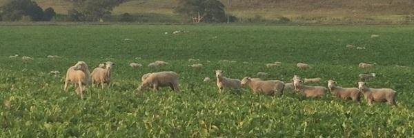 Lambs grazing Hunter forage brassica at Chris Mortons property_April 16