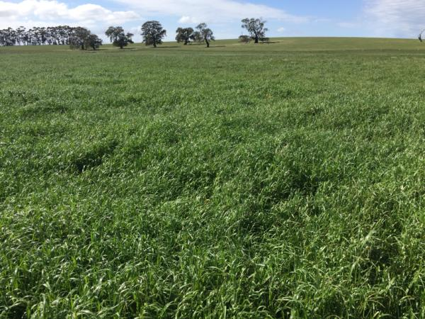 Knight locked up for hay | AusWest & Stephen Pasture Seeds