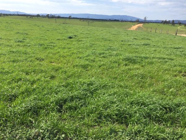 Mach 1 annual ryegrass pasture at Alan Simpson's