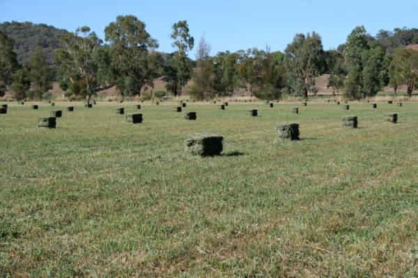 Titan 7 is giving Rod Spark from Woolomin high quality hay, good yields and the flexibility to graze lambs over winter.