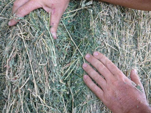 Titan 9 has a fine stem and quality leaf retention for quality hay