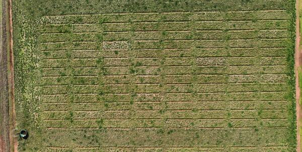 Arial view of urine patches in a nitrogen and potassium deficient paddock