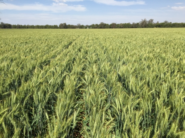 Illabo wheat | AusWest & Stephen Pasture Seeds