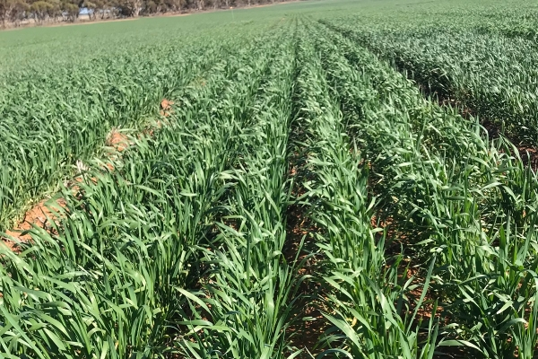 Vixen wheat | AusWest & Stephen Pasture Seeds