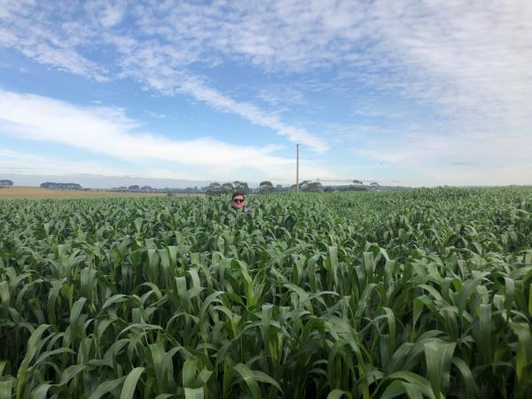 FeedEx sorghum in Gippsland, VIC