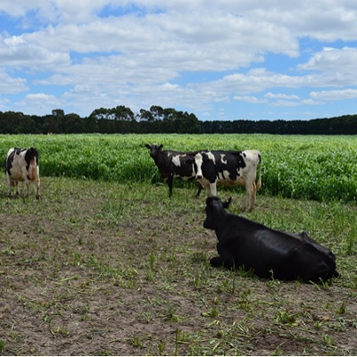 Dairy cows grazing a crop of sorghum in northern Victoria.